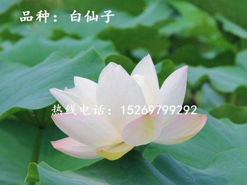 微山湖荷花 荷花苗批发 观赏荷花 精品荷花 莲花种苗 承接荷花种植示例图6