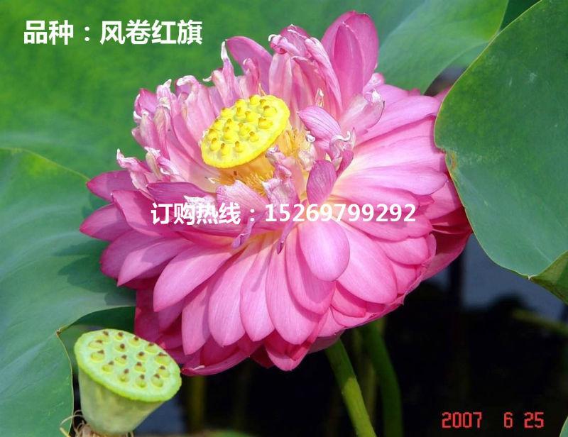 微山湖荷花 荷花苗批发 观赏荷花 精品荷花 莲花种苗 承接荷花种植示例图8