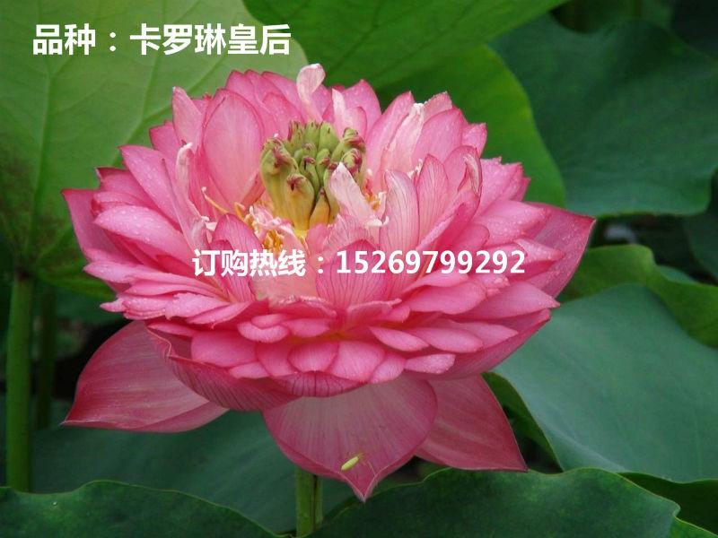 微山湖荷花 荷花苗批发 观赏荷花 精品荷花 莲花种苗 承接荷花种植示例图9