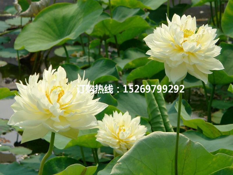 微山湖荷花 荷花苗批发 观赏荷花 精品荷花 莲花种苗 承接荷花种植示例图13