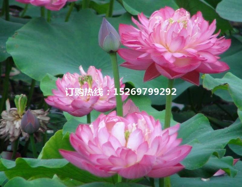 微山湖荷花 荷花苗批发 观赏荷花 精品荷花 莲花种苗 承接荷花种植示例图15