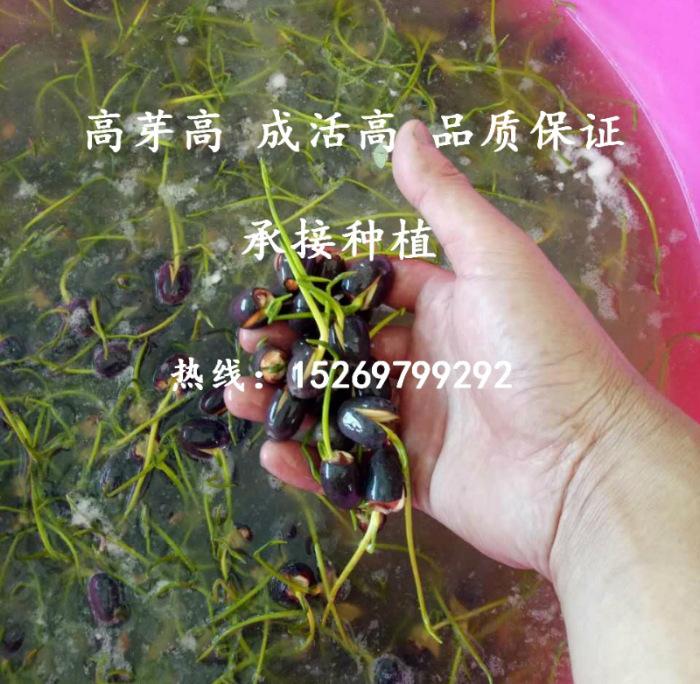 微山湖荷花 荷花苗批发 观赏荷花 精品荷花 莲花种苗 承接荷花种植示例图38