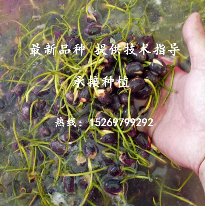 微山湖荷花 荷花苗批发 观赏荷花 精品荷花 莲花种苗 承接荷花种植示例图39