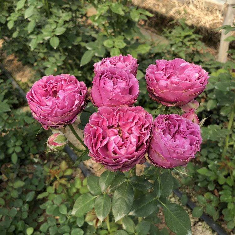 昆明基地自产自销四季开花迷你种苗迷你玫瑰花苗多季开花现货供应示例图11