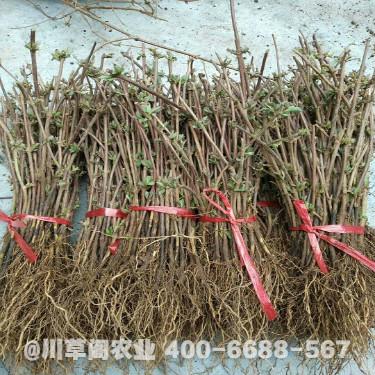 金銀花育苗基地 金銀花種植技術規程 優質原種苗