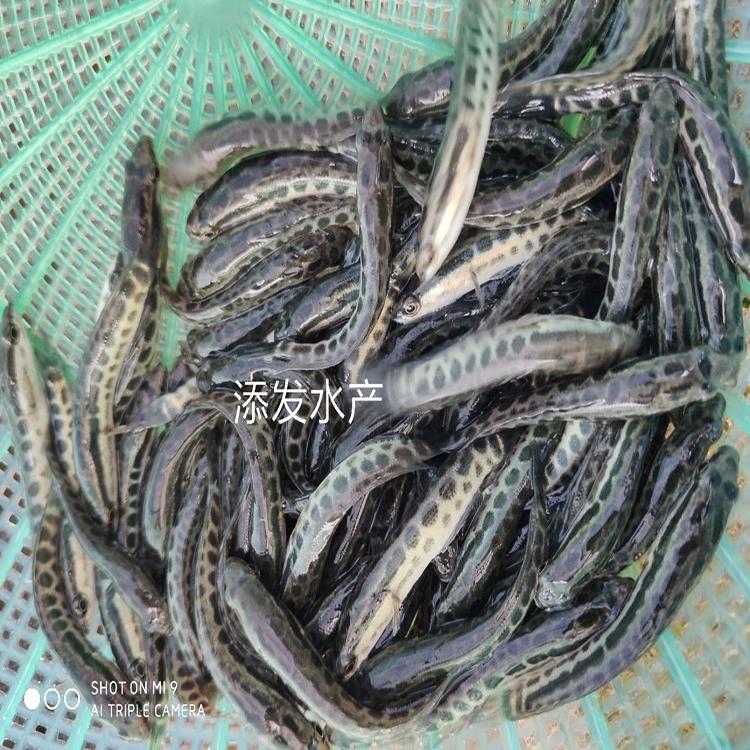 黑鱼苗  杂交黑鱼 墨鱼苗价格实惠广州添发鱼苗