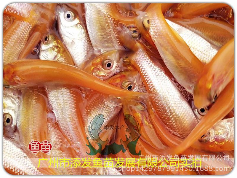 【大量出售】纯种俄罗斯金草鱼鱼苗 金丝鲩鱼苗批发示例图5
