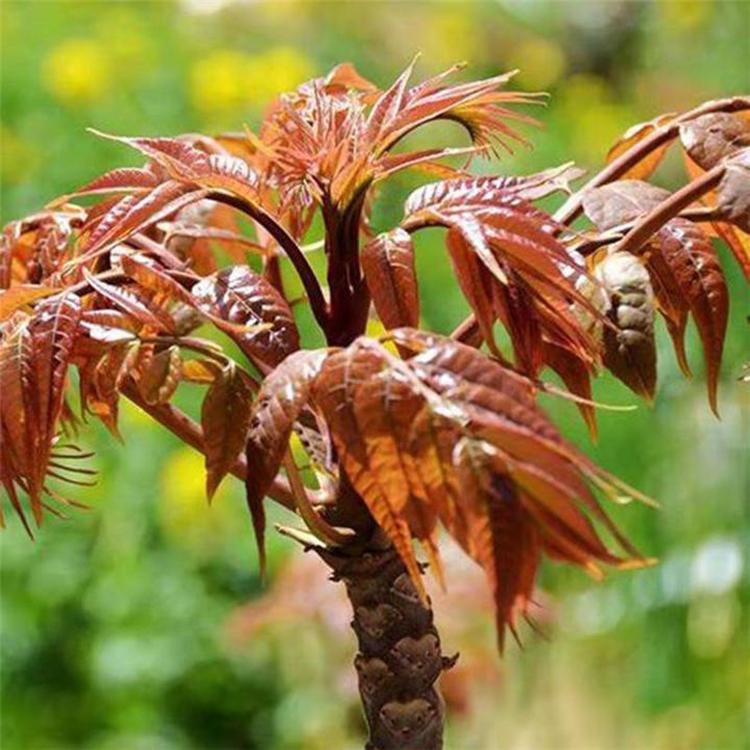 香椿苗种植基地  直销规格齐全红油香椿苗  香椿苗苗圃基地 茂源园艺