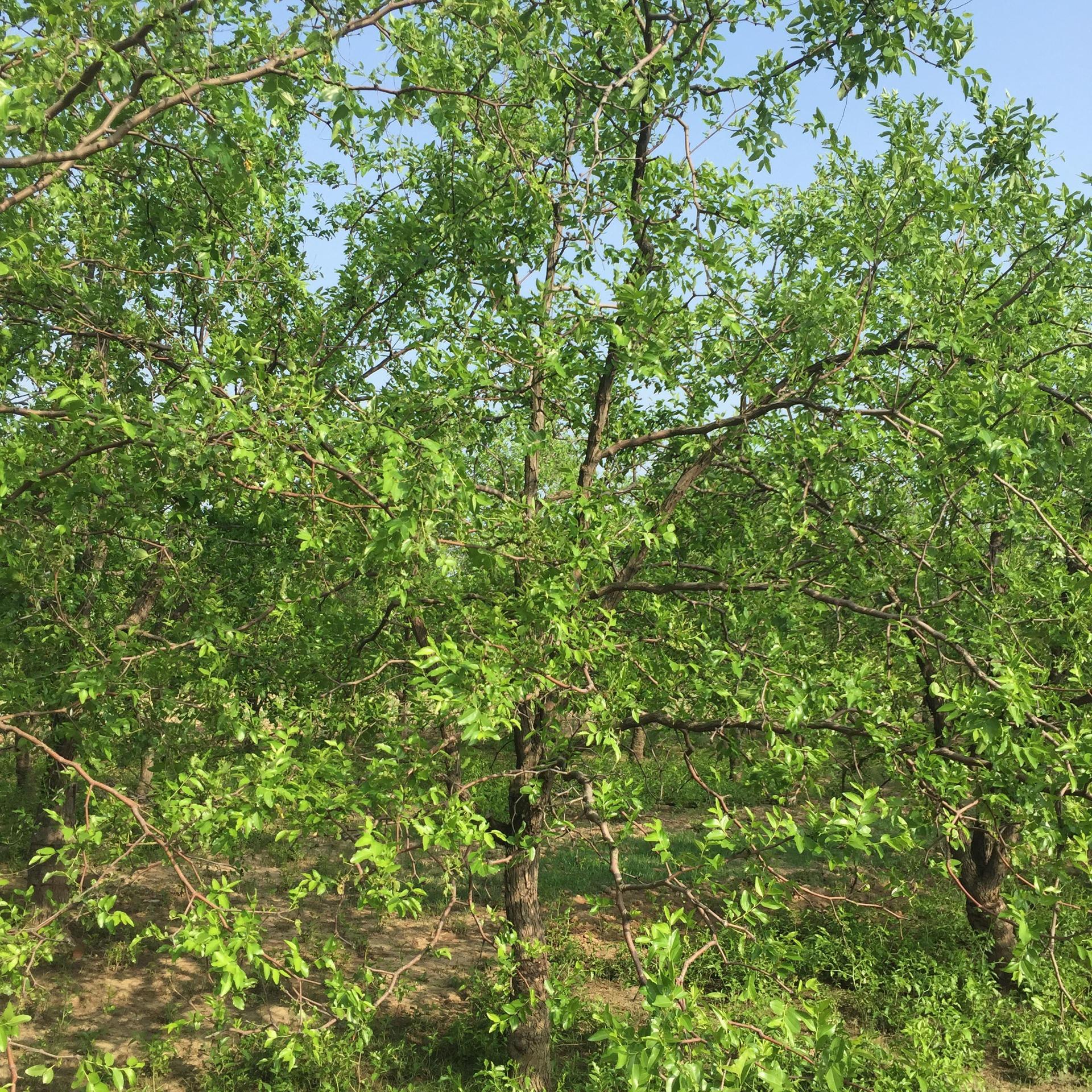 滄州棗樹大量出售棗樹8-16公分 樹型優美 漂亮