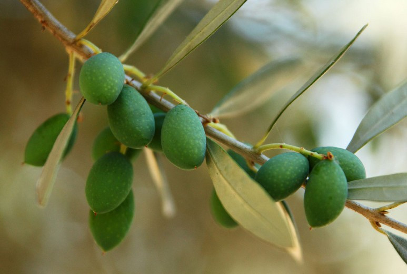 橄榄叶提取物 羟基酪醇 20%示例图4