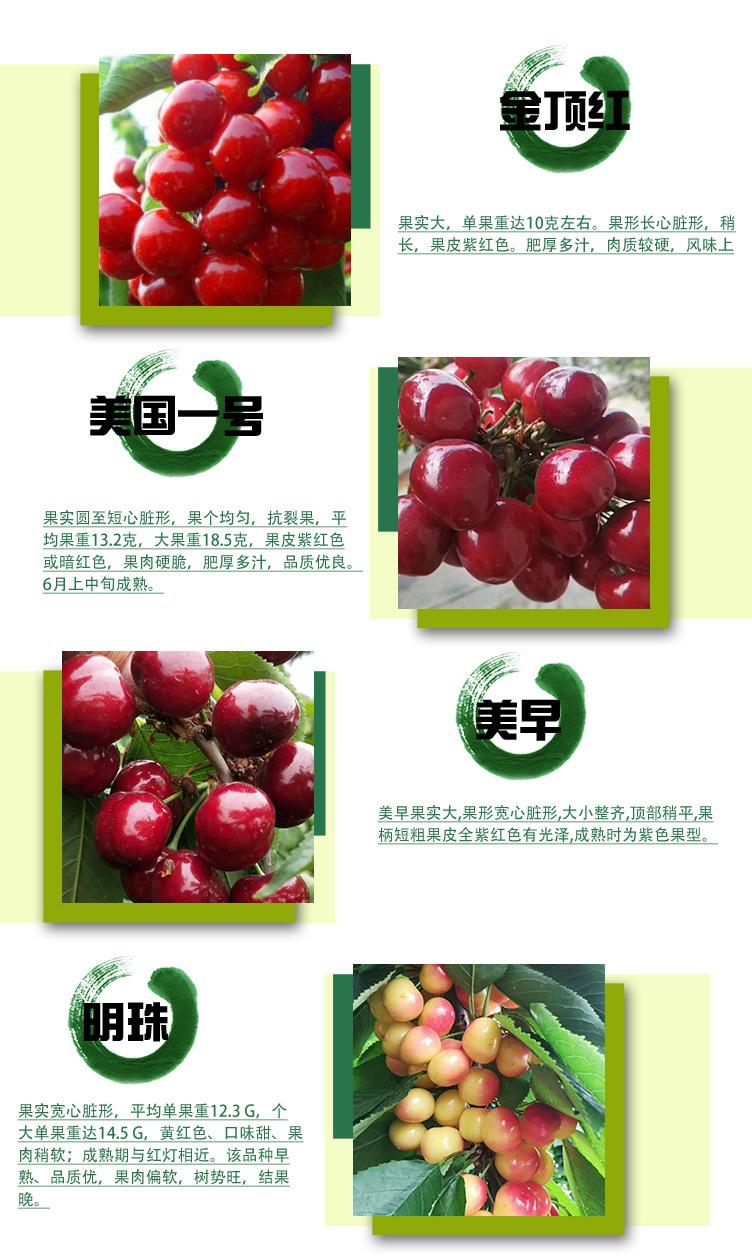 新品种琥珀樱桃苗产量高