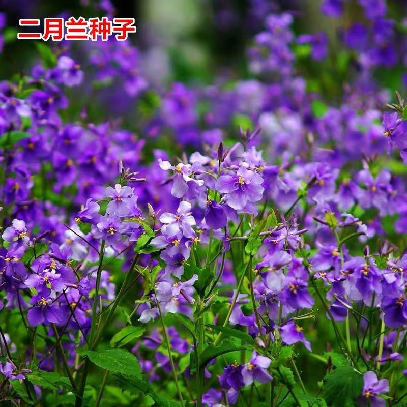 草花種子 二月蘭種子 價格 二月蘭花籽 批發