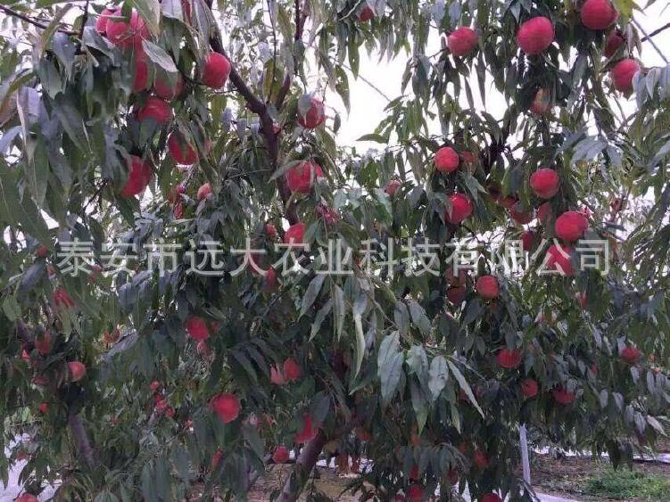 映霜红桃树苗  桃苗价格优惠 成活率高达98% 晚熟雪桃品种示例图22