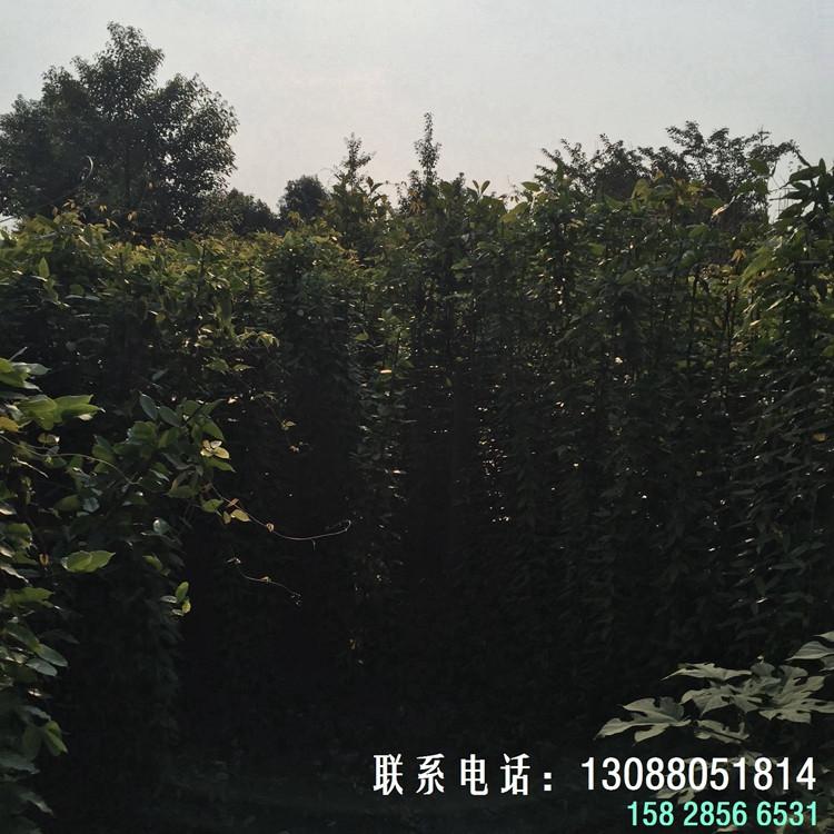 绿篱苗圃 油麻藤小苗  常春油麻藤种子 油麻藤苗木规格齐全