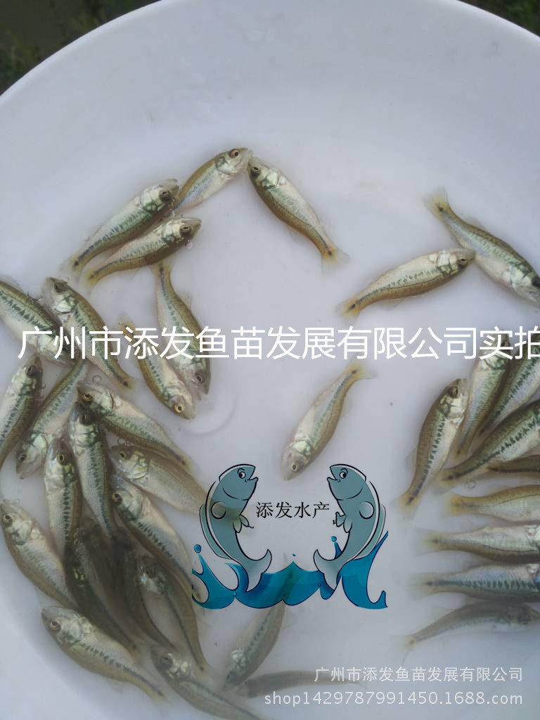 【热卖】加州鲈鱼苗水花 加州鲈鱼苗 鲈鱼苗批发示例图1