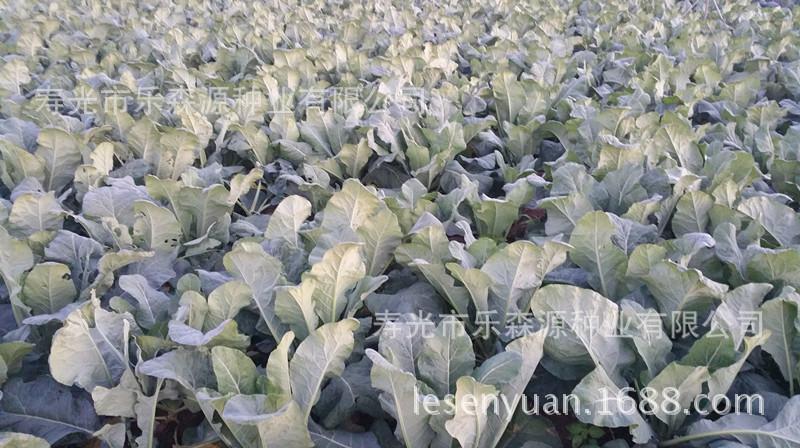 日本从坂田公司进口西兰花种子