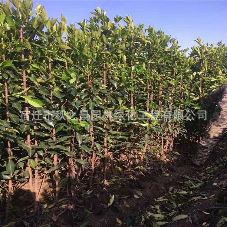 法国冬青/珊瑚树基地批发 园林道路绿化绿篱法国冬青 规格齐全示例图8