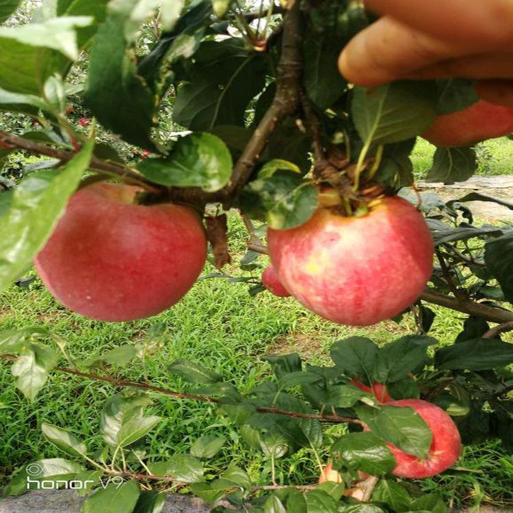 矮化鲁丽苹果苗价格 苹果苗批发 柱状苹果苗  诚萱园艺