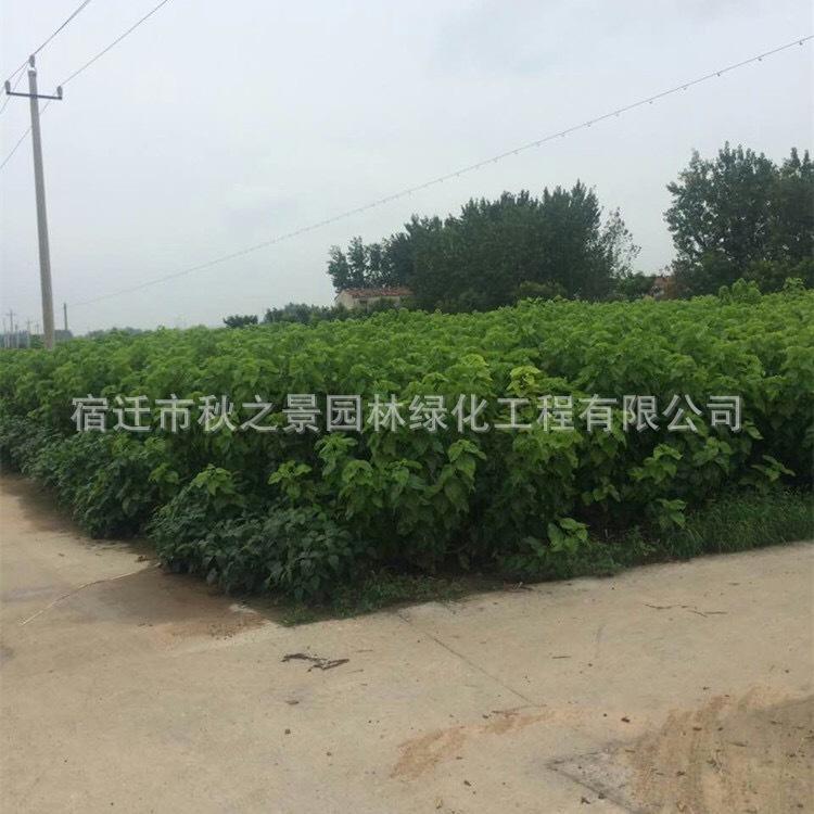 台湾四季桑树苗基地批发 果桑 四季结果 庭院种植果树苗 味甜汁多示例图2