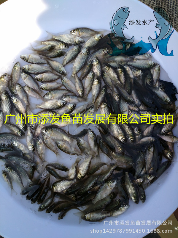 广州市添发鱼苗发展有限公司批发各种优质鱼苗 供应鱼苗示例图4