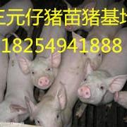 山東三元仔豬。杜洛克仔豬。山東長白仔豬今日仔豬價格。30斤仔豬價格