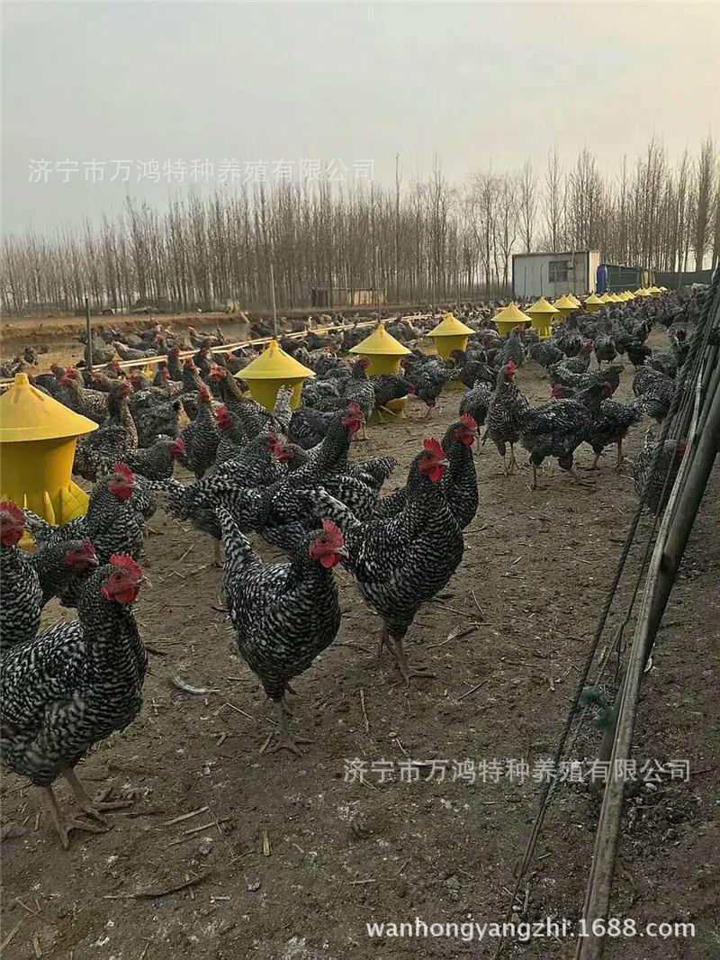 【贵妃鸡出售】贵妃鸡出售价格_贵妃鸡出售批发_贵妃鸡示例图18