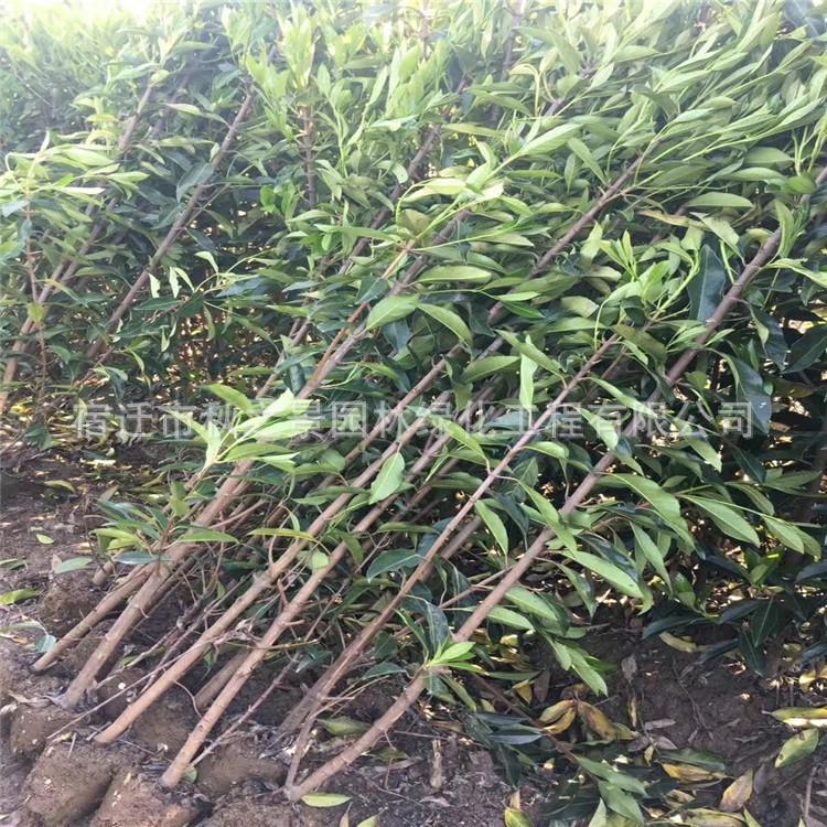 法国冬青/珊瑚树基地批发 园林道路绿化绿篱法国冬青 规格齐全示例图11