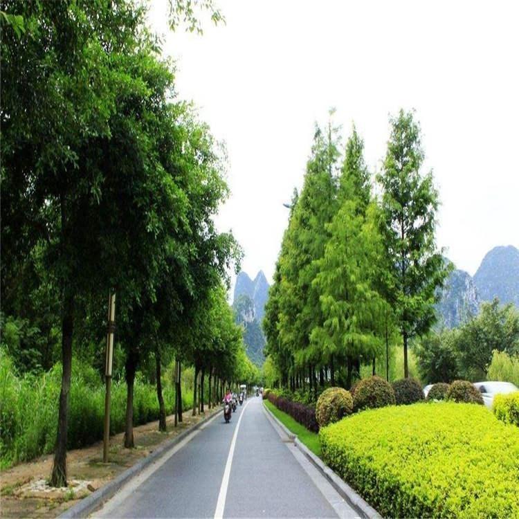 道路公路馬路綠化工程用  大葉扶芳藤基地批發直供  綠化苗木耐寒植物     芊色苗木