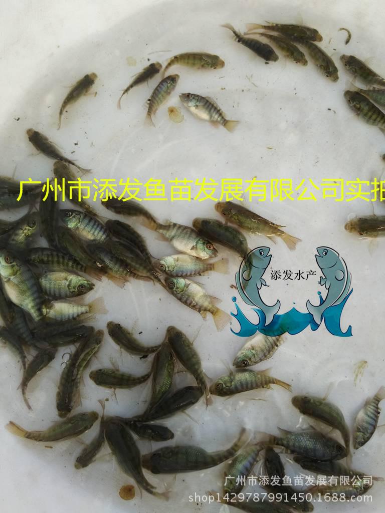 广州市添发鱼苗发展有限公司批发各种优质鱼苗 供应鱼苗示例图3