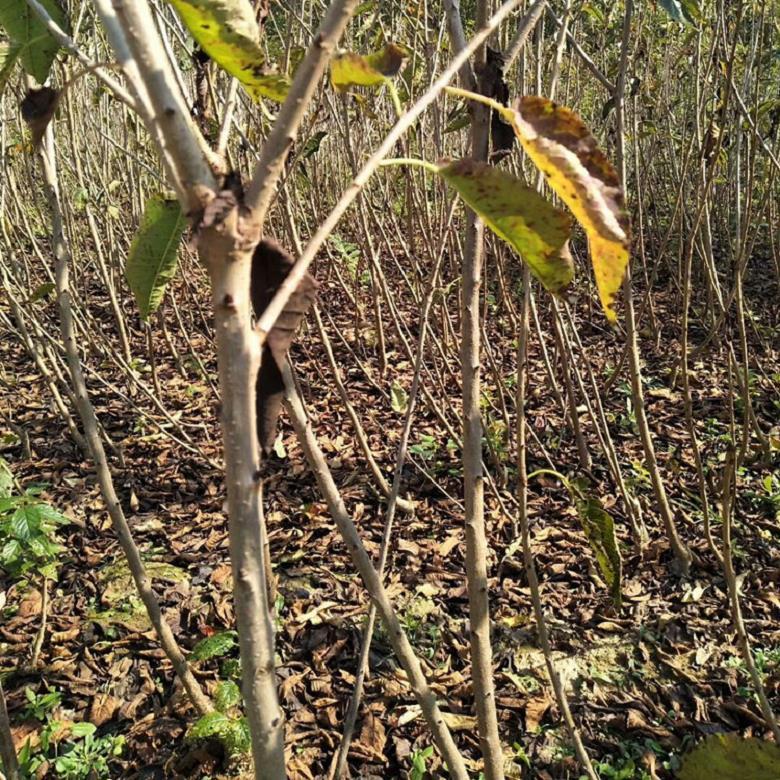 黑珍珠樱桃小苗批发厂家 2公分粗黑珍珠樱桃苗