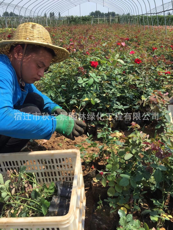 丰花月季产地直销  月季盆栽 品种月季 园林绿化花灌木  量大优惠示例图3