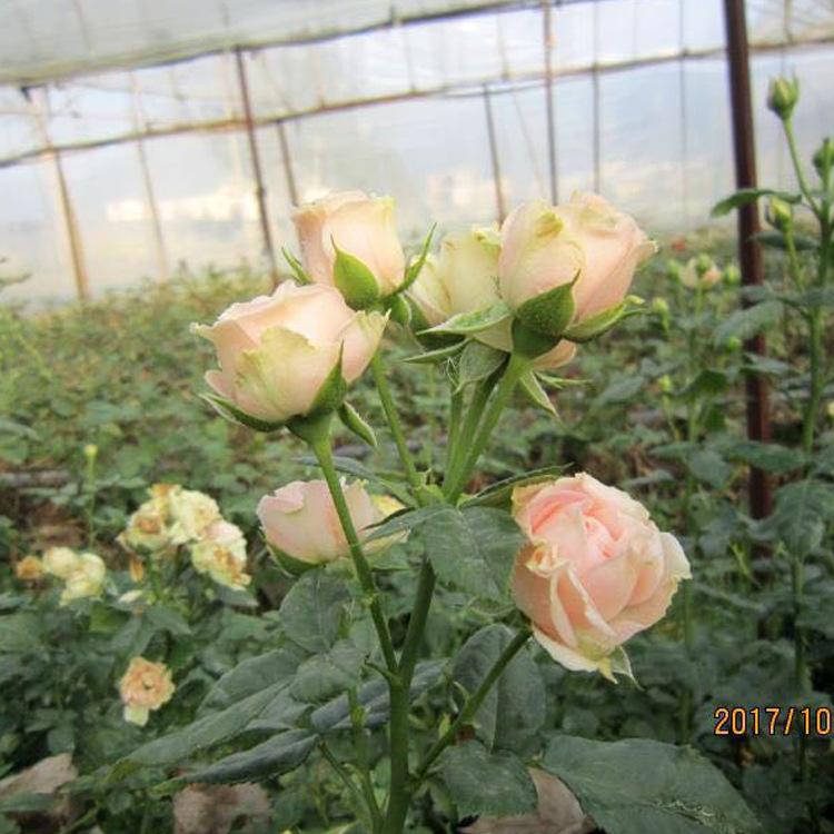 昆明基地自产自销四季开花迷你种苗迷你玫瑰花苗多季开花现货供应示例图13