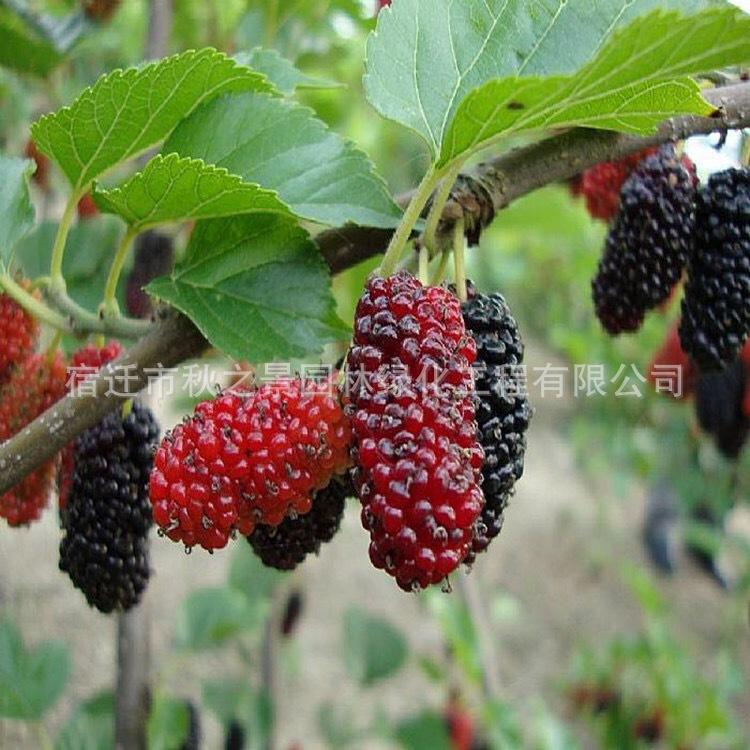 台湾四季桑树苗基地批发 果桑 四季结果 庭院种植果树苗 味甜汁多示例图8