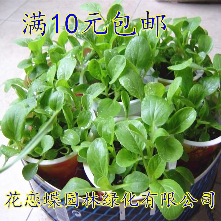 白菜种子、蔬菜和种子可以四季种植,适合菜园子里的有机蔬菜。