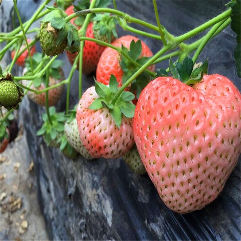 密宝草莓苗批发基地、香蕉草莓苗价格、妙香3号草莓苗批发出售