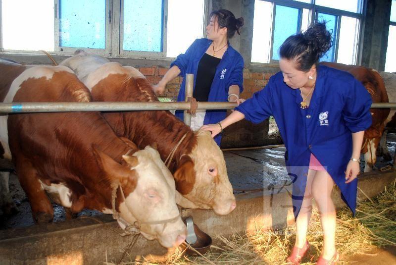 晟源牧业 专业批发出售肉牛 好品质肉牛 大型专业肉牛养殖小牛犊价格西门塔尔牛纯种肉牛 专业养殖肉牛 西门塔尔牛价格