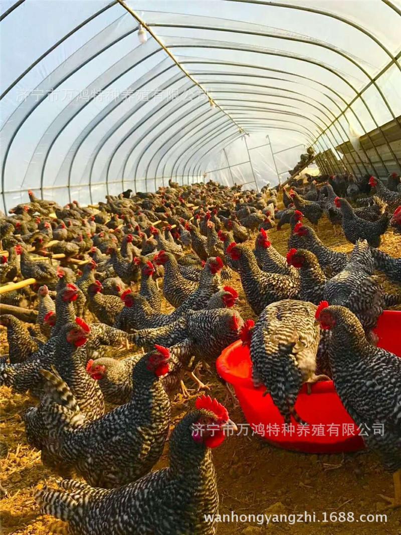 【贵妃鸡出售】贵妃鸡出售价格_贵妃鸡出售批发_贵妃鸡示例图19