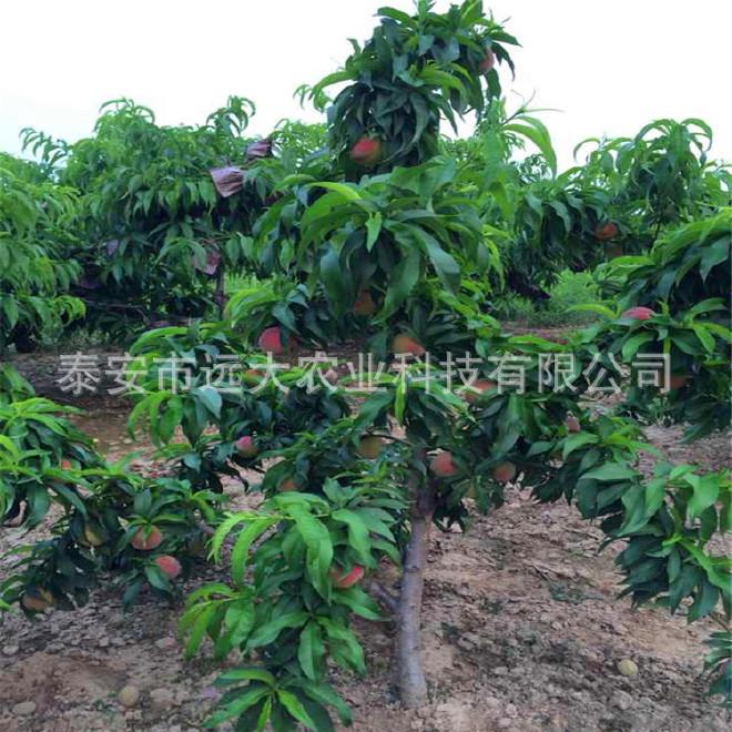 映霜红桃树苗  桃苗价格优惠 成活率高达98% 晚熟雪桃品种示例图16