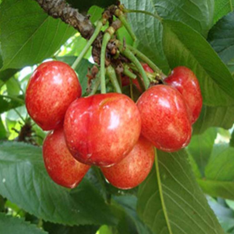 5公分车厘子樱桃苗价格、萨王樱桃苗长期销售