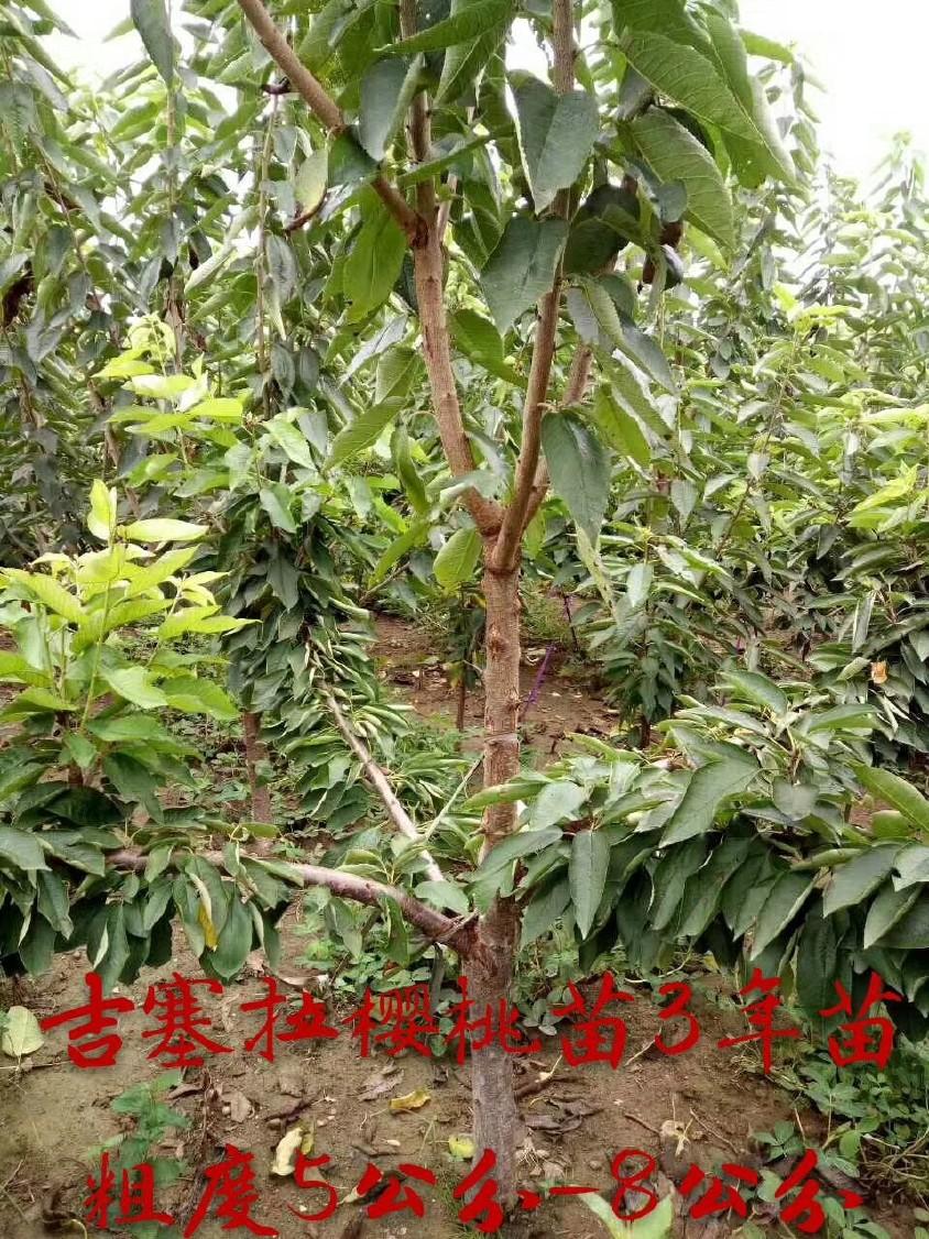直銷櫻桃樹苗 嫁接車厘子櫻桃樹 品種純正 成活率高 美早櫻桃樹示例圖12