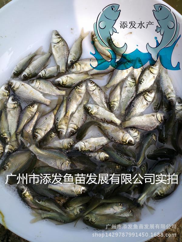 【特价包邮】湘云鲫鱼苗供应 鲤鱼鲫鱼苗示例图2