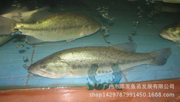 广州市添发鱼苗发展有限公司批发各种优质鱼苗 供应鱼苗示例图24