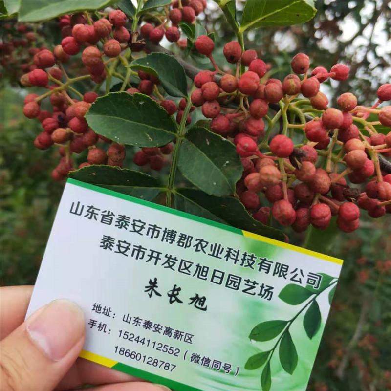 1公分花椒苗价格 大红袍花椒苗 花椒苗种植技术