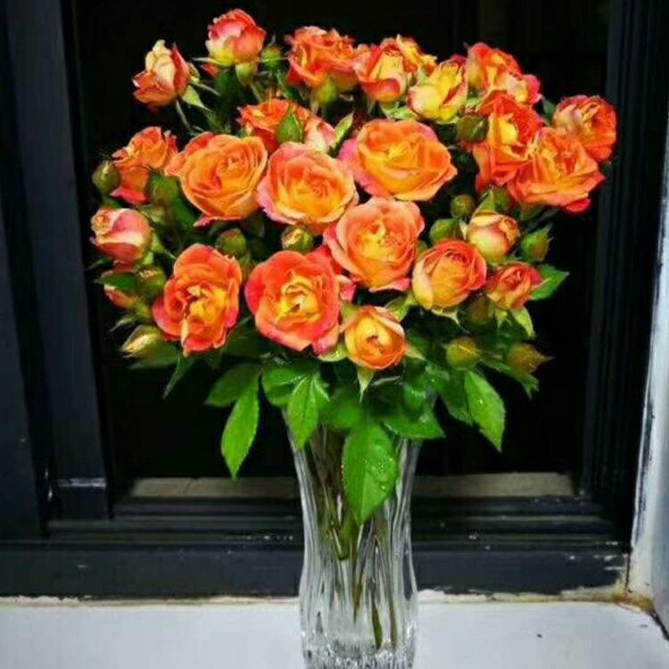 昆明基地自产自销四季开花迷你种苗迷你玫瑰花苗多季开花现货供应示例图15