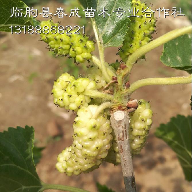供应产量高好管理的优质果桑苗示例图11