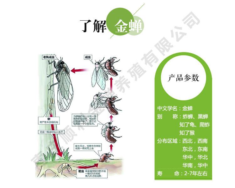 人工养殖知了 金蝉养殖新技术 金蝉怎么种植 人工养殖金蝉 金蝉的养殖技术示例图3