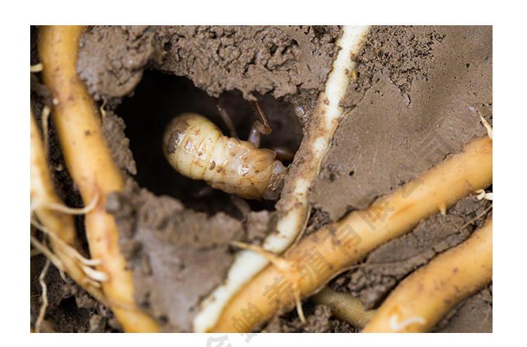 人工养殖知了 金蝉养殖新技术 金蝉怎么种植 人工养殖金蝉 金蝉的养殖技术示例图10