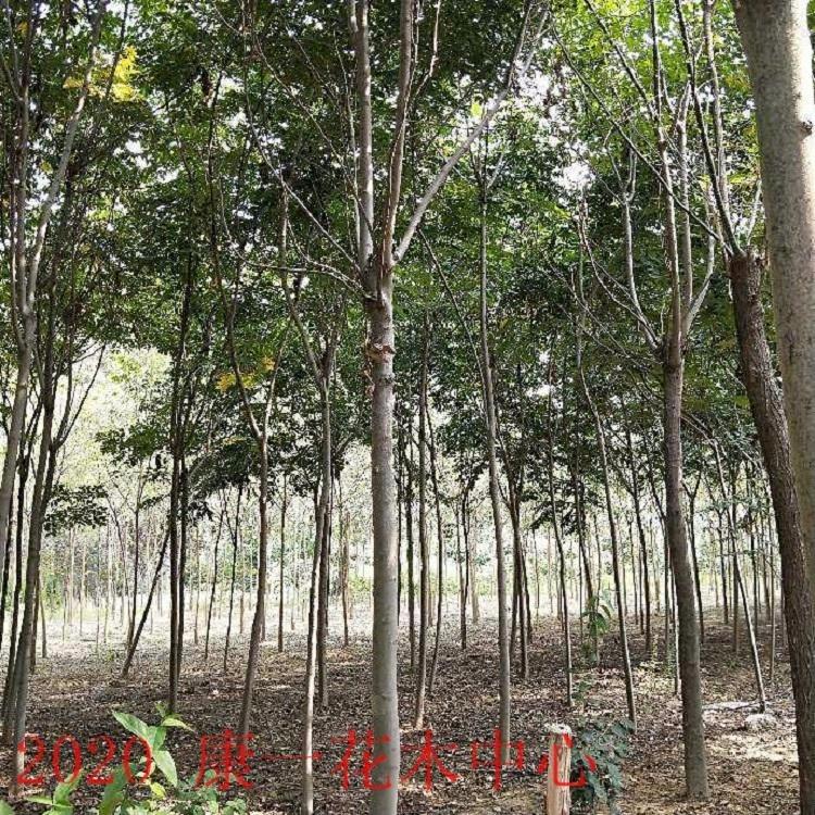 欒樹 15公分黃山欒樹價格 大小規格欒樹 苗圃直銷行道樹用苗桿直分支點統一