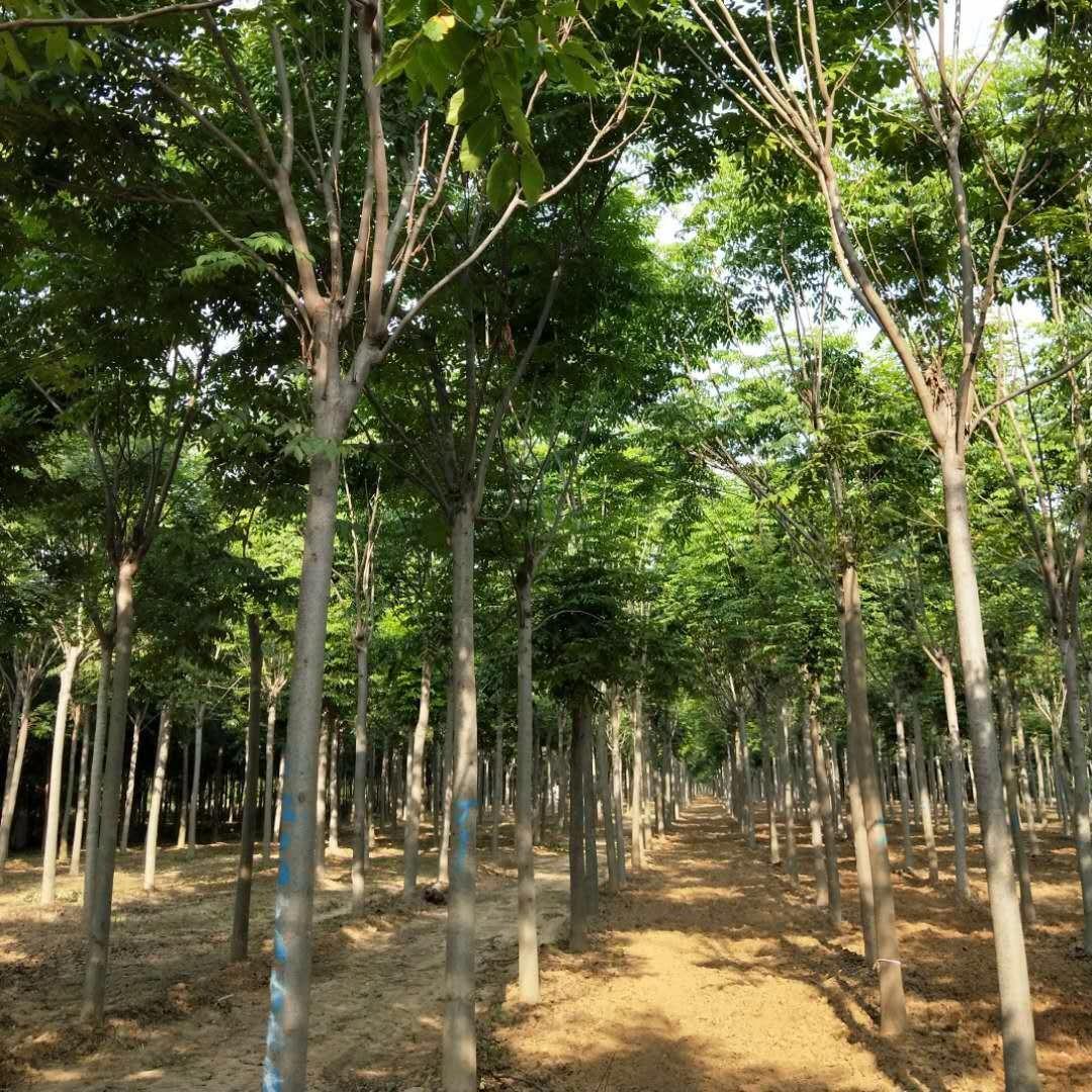 優質欒樹,河南欒樹,黃山欒樹苗,12公分欒樹,河南苗木基地,桿直冠圓