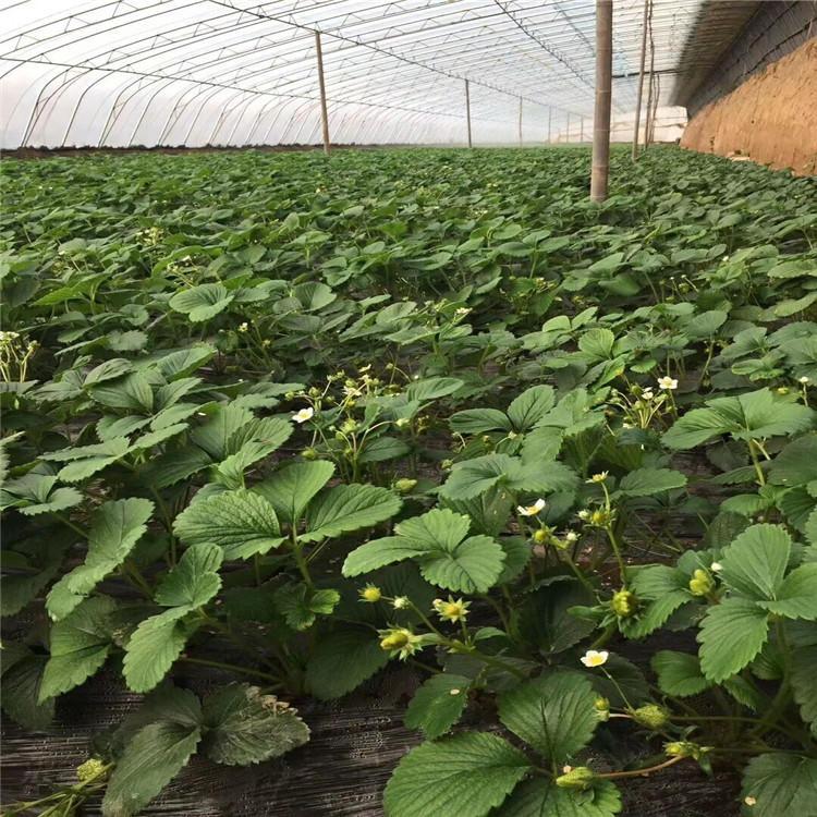 大量出售大棚牛奶草莓苗 新品种淡雪草莓苗 育苗基地直销安徽 采摘园专用
